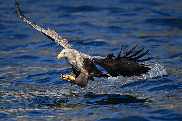 eagle-nikon
