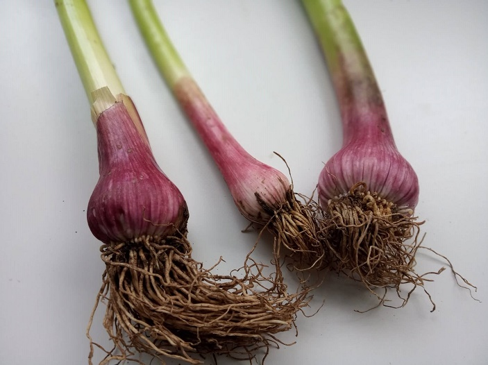 leek-bulbs_feb2019-wk2